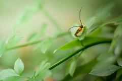 lange Fhler (ingoal18) Tags: light macro green nature insect nikon grn nikkor makro blatt insekt lightroom lange fhler d7100 acromat langfhler