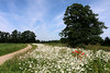 Field of Joy (Rick & Bart) Tags: flower nature canon flora belgium hasselt poppy daisy wildflower limburg oxeyedaisy papaverrhoeas herkenrode leucanthemumvulgare rickbart thebestofday gününeniyisi rickvink eos70d herkenrodeabbey