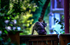 Cat_at_Gate (Sy_In_Indy) Tags: sonya7s supertakumar135mm woodruffplace indianapolis hdr