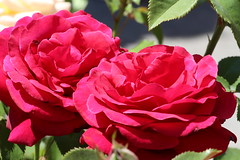 IMG_1420 (ShellyS) Tags: nyc newyorkcity flowers manhattan parks unionsquare unionsquarepark