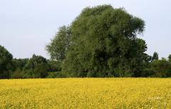 04-IMG_2428 (hemingwayfoto) Tags: baum blhen blte gelb landwirtschaft natur raps