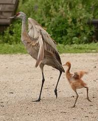 Little Shadow (kenyoung3) Tags: gruscanadensis sandhillcrane colt mimicry parenting juvenile bird georgecreifelmigratorybirdsanctuary deltabc