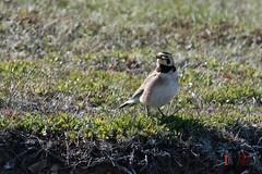 Horned Lark-16-3 (Ian L Winter) Tags: ca canada nature birds newfoundland saintbrides capestmarys capeshore hornedlark newfoundlandandlabrador capestmarysecologicalreserve