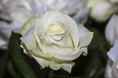 Een mooie witte roos (nvp74) Tags: flowers blackandwhite white flower love beauty rose closeup canon 50mm nice flora vrede roos plasticfantastic mooi wit rozen bloemen liefde bloem bewerkt plaat sereen canoneos500d tassyfotografie