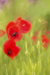Summer Solstice - Poppies (suzanne~) Tags: red plant painterly flower botanical blossom outdoor fineart poppy bloom