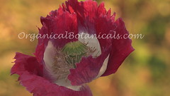 Danish Flag Papaver Somniferum Opium POPPY Flower grown with Seeds from - OrganicalBotanicals_Com 3 (gjaypub) Tags: flowers plants nature silhouette photography pod photos gardening bees seed seeds poppy poppies growing opium pods cultivation papaver somniferum morphine cultivating papaversomniferum 2016 potency poppyhead alkaloids organicalbotanicals