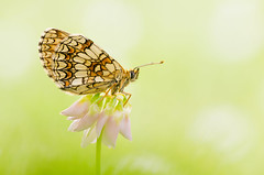 Melitaea athalia (Marcin Boch) Tags: flower colors butterfly insect spider dragonfly naturallight stackfocus nikond7000 afsdxmicronikkor85mmf35gedvr