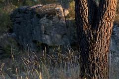 Stone pine (ramosblancor) Tags: naturaleza nature botnica botany pinar pineforest pinopionero stonepine pinuspinea atardecer dusk bosquemediterrneo mediterraneanforest tronco trunk madrid