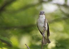 _53F6023 Red-Eyed Vireo (~ Michaela Sagatova ~) Tags: canon songbird vireo redeyedvireo birdphotography michaelasagatova