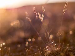 magic (..Lana..) Tags: light sunset sunlight grass prime desert takumar bokeh roadtrip 55mm manual easternwashington microfourthirds