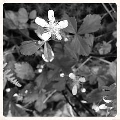 Minnetoska ~ wildflowers - HMBT! (karma (Karen)) Tags: minnetoska garrettco maryland woods forest wildflowers dof bokeh monochrome bw hmbt 4summer iphone