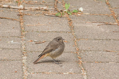 Black Redstart (katyarud) Tags: travel birds usedom  passeriformes blackredstart  muscicapidae phoenicurusochrurosgibraltariensis