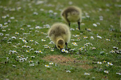 WHAT'S UNDER HERE? (Duncan Disorderly2011) Tags: canada goose gosling chick bird nikond7000