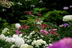 Colorful Garden (tez-guitar) Tags: summer flower temple pentax blossoms petal bloom hydrangea pentaxart