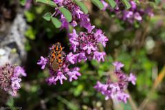 IMG_0742-250 (Martin1104) Tags: fotografie natuur bergen landschap vlinders yagodina snp bulgarije natuurfotografie natuurreis