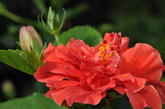 gumamela (hibiscus) (DOLCEVITALUX) Tags: flowers plants flower fauna flora philippines hibiscus gumamela medicinalplants chineserose
