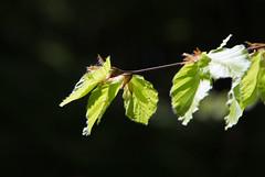 Frhling 2016, Sorpesee (Stefan Giese) Tags: detail macro green closeup forest canon leaf spring bokeh grn makro blatt wald frhling 6d 24105