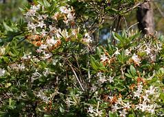 Swamp Azalea (Rhododendron viscosum) (Mary Keim) Tags: taxonomy:binomial=rhododendronviscosum centralflorida marykeim lowerwekivariverpreservestatepark floridanativewildflowers