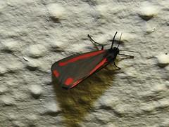 Anglų lietuvių žodynas. Žodis cinnabar moth reiškia gyvsidabrio drugelis lietuviškai.