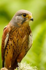Kestrel Portrait (zarlock81) Tags: birds scotland wildlife falcon balloch lochlomond kestrel schottland falcotinnunculus commonkestrel turmfalke vereinigtesknigreich