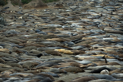 Literally Miles of Elephant Seals