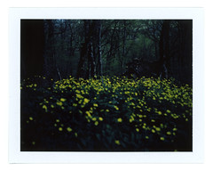 Flowers-buttercups (Dark) (Andrey Timofeev) Tags: camera flowers trees mountains colour mamiya film nature grass yellow analog forest dark landscape polaroid back view deep rangefinder 100mm iso pack land instant fujifilm 100 universal analogue crimea thicket buttercups expiredfilm f35          mamiyasekor fp100c          05may2015 usebefore201502