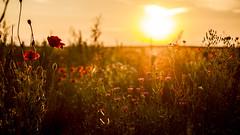 Wild Poppies (wolfi8723) Tags: poppies mohn field wild flowers sunset