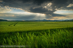 / Wheat (AVasilev) Tags: wheat field sunset clouds zavet village burgas province bulgaria