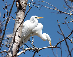 White Egrets (dantor on flickr) Tags: bird migratory egret whitebird migratorybirds