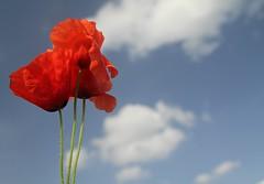 Papaveri (Alice Protto) Tags: flowers red sky sun flower macro art primavera clouds canon eos spring foto poppies fotografia fiori fiore canoneos printemps papaveri canonflower eos550d
