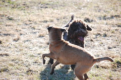 DSC_0144 (juliapee) Tags: dogs spring borderterrier dogsplaying lagotto romangolo