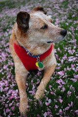 IMG_0082 (i_am_lee_sam) Tags: red dog senior female cherry cattle blossoms australian heeler acd adoptable ziva