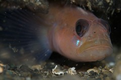 Blackeye (?) Goby (decidedlyodd) Tags: washington underwater scuba diving mukilteo goby blackeyegoby canonef100mmf28lmacroisusm
