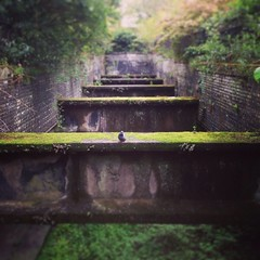 One hundred and seven. Pigeon (sarahjanequinn) Tags: park glasgow pigeon botanics iphone project365