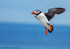 Puffin landing- (David Newby Images) Tags: puffin farneislands clarescott copout2010