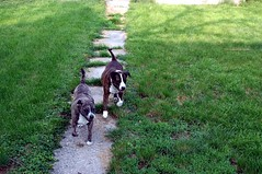 This new Flickr sucks bigtime! (kennethkonica) Tags: yards pets green dogs animals america fun nikon midwest shadows indianapolis indiana canine running nikond70s brindle activity hoosiers pitbulls
