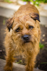Curious (A Sarky Tyke) Tags: portrait dog pet border ella terrier curious scruff