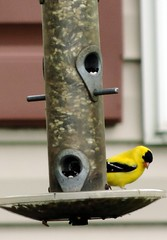 Goldfinch on the Feeder (rabidscottsman) Tags: wild bird yellow gold nikon wildlife goldfinch birdfeeder finch coolpix wildbird p520 scotthendersonphotography nikonp520