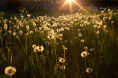 Endless Summer (Ulf Bodin) Tags: sweden dandelion uppsala sverige maskros canonef50mmf12lusm uppsalalän salabacke canoneos5dmarkiii salabackar