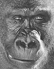 (Jessica Dye) Tags: africa portrait blackandwhite bw white black male nature smile face smart lines animal nose zoo monkey interesting eyes gorilla wildlife thinking stare species endangered upclose wondering wrinkles primate matte intelligent silverback creases zoological jessicadye