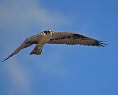 Osprey Flying In (jhwagner) Tags: inflight newjersey behavior sandyhook osprey