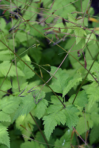 Photo - Sweet Cicely