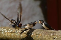 Feeding time (DominoDude) Tags: summer birds canon skne feeding sweden 7d sverige barnswallow hirundorustica scania bif canonef40056l vitaby canoneos7d canon7d krubbemlla