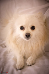 Apple (german_long) Tags: dog puppy perro pomeranian pomerania