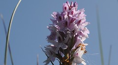 Geflecktes Knabenkraut (Dactylorhiza maculata); Dachsenberg, Fockbek (28 a) (Chironius) Tags: germany deutschland rosa pantano peat orchidaceae swamp bottoms alemania marsh moor bog marais allemagne germania schleswigholstein sump dactylorhiza orchideen ogie sumpf pomie niemcy tourbire asparagales   orchideae turbera pomienie marcageuse orchideengewchse knabenkruter szlezwigholsztyn