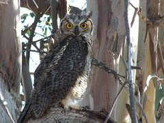 Great Horned Owl_9309 (Dancing with Ghosts Graphics) Tags: california urban usa bird yellow binocular nocturnal large aves hemet bristles predator winged powerful ornithology ruff avian birdsofprey horned eartufts great eyes vision fimbriae flutings rings flight bubo crown silent tigers feathers owls virginianus hoot filoplumes debbrawalker dancingwghosts binocular nictitating membrane sclerotic earflap semiplumes