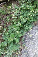 Orthurus kokanicus (Rosaceae) (yakovlev.alexey) Tags: uzbekistan rosaceae kugetang surkhanskiynaturereserve