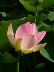 Lotosblume, Nelumbo nucifera (GMH-SD-HH) Tags: deutschland lotus arboretum indianlotus sacredlotus nelumbonucifera blumenpark lotosblume ellerhop