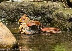 Cardinal splashing again (paramaniac10) Tags: summer nature birds animals cardinal dragonflies pennsylvania birding butterflies toads insects bugs frogs amphibians raptors damselflies lizzards