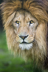 Another nice lion portrait